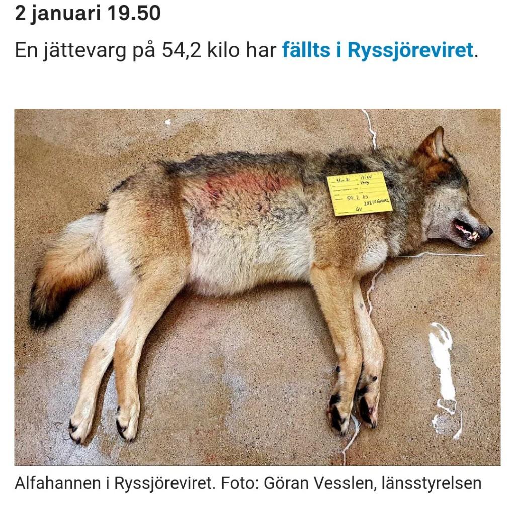 Jägarkåren spelar rysk roulette med vår starkt utrotningshotade vargstam, skriver debattören. Foto: TT